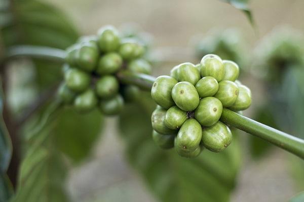 Cum sa scapi de kilogramele in plus folosind cafeaua verde