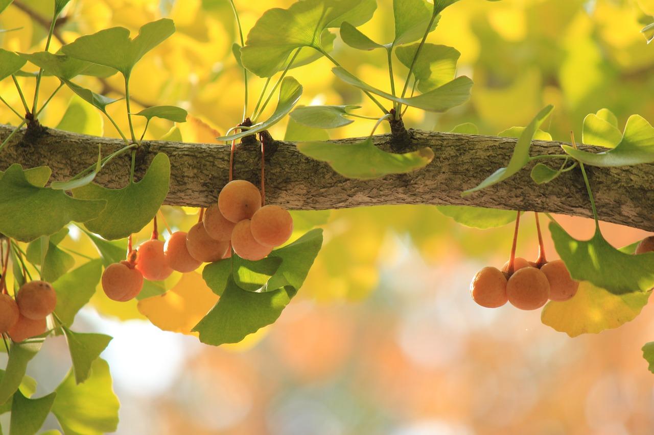 Ginkgo biloba - 7 beneficii pentru sanatatea organismului