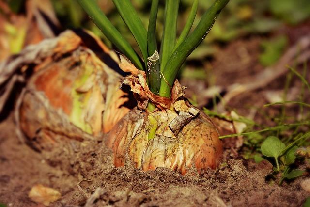 Beneficiile consumului de ceapa