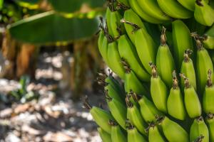 Sucul de banane si beneficiile sale pentru sanatatea organismului